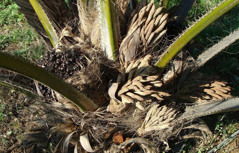 Palm Oil Plantation Business